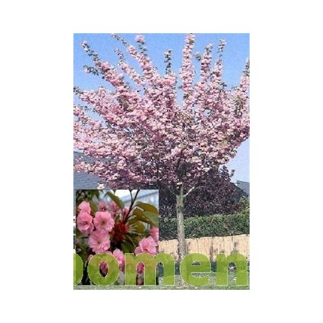 Bolkers, Prunus Royal Burgundy