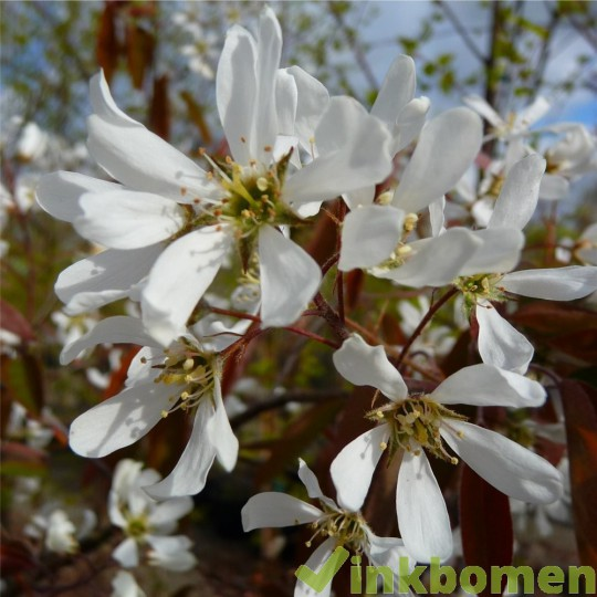 Amelanchier lamarckii, krentenboom