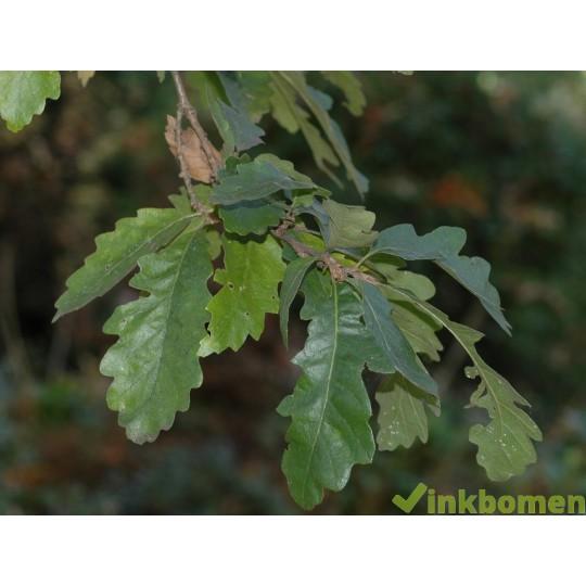 Quercus Cerris, moseik, Turkse eik