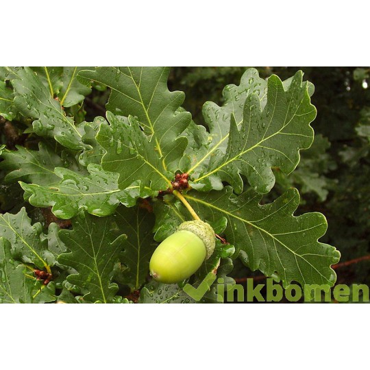 Quercus Robur, zomereik