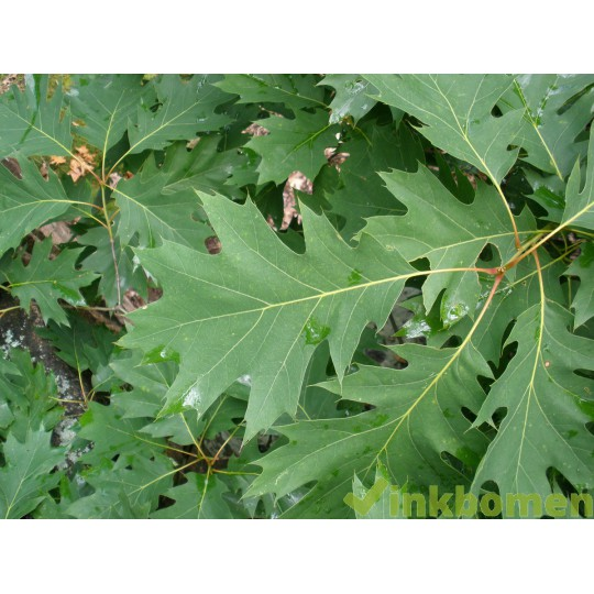 Quercus Rubra, Amerikaanse eik
