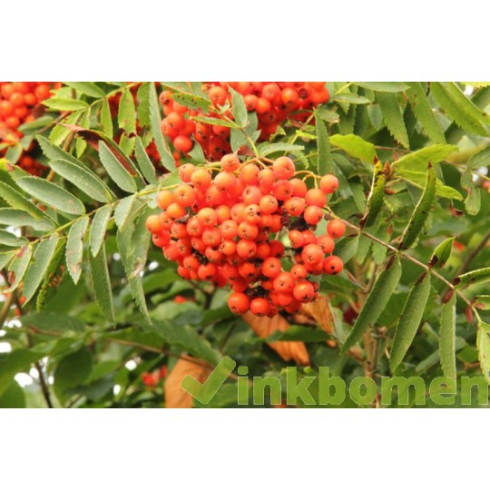 Sorbus aucuparia, Gewone lijsterbes