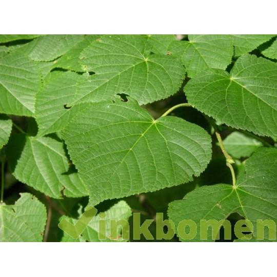 Tilia Platyphyllos, zomerlinde, grootbladige linde
