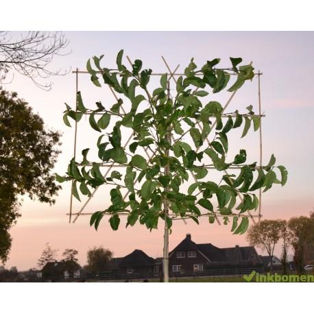 Leimagnolia, Magnolia Kobus