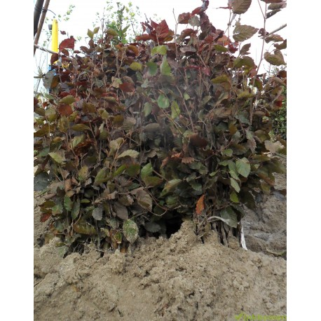Rode beukenhaag, Fagus sylvatica atropunicea