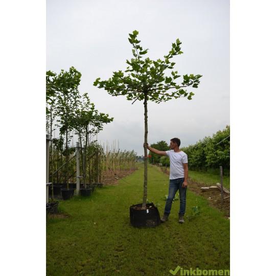 Dakplataan, Platanus Acerifolia