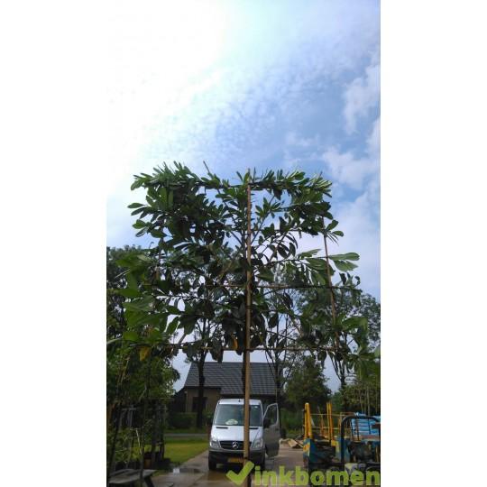 Leilaurier, Prunus Novita