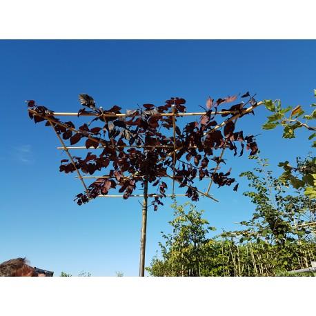 Dakprunus, Prunus cerasifera Nigra