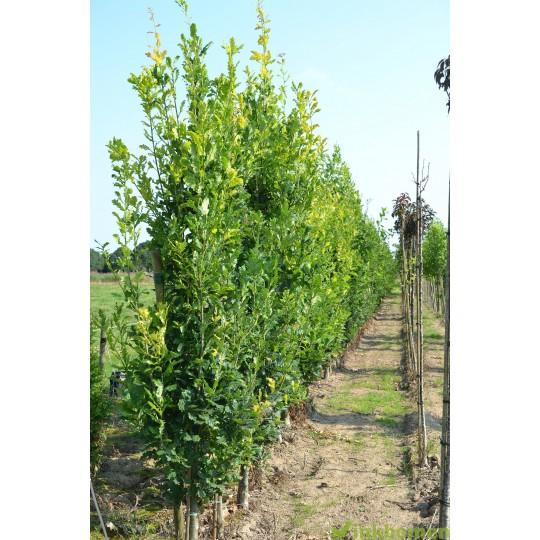Quercus robur Fastigiata Koster, zuileik
