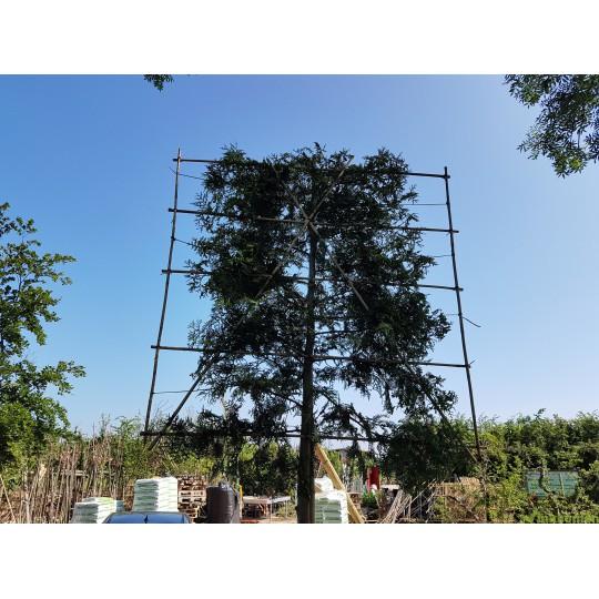 Thuja Brabant, Coniferen leivorm leiboom groenblijvend