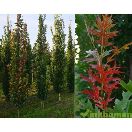 Quercus Palustris green pillar, moeras eik