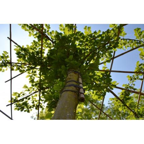 Dakbeuk, Carpinus Betulus