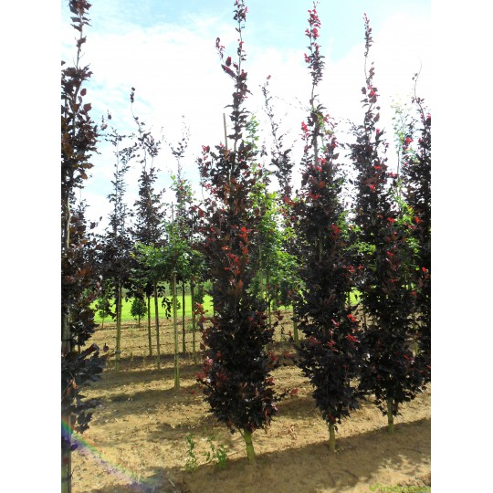 Fagus Sylvatica Dawijck purple