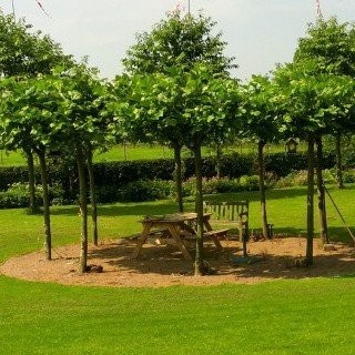 Dakbomen-kopen-dakplataan-kwekerij