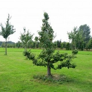 Fruitbomen-kopen-fruitboom-kwekerij